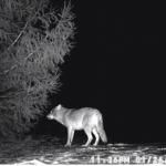 wolf in yard