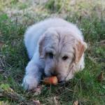 Problems You Might Have With A Puppy In The First Few Months